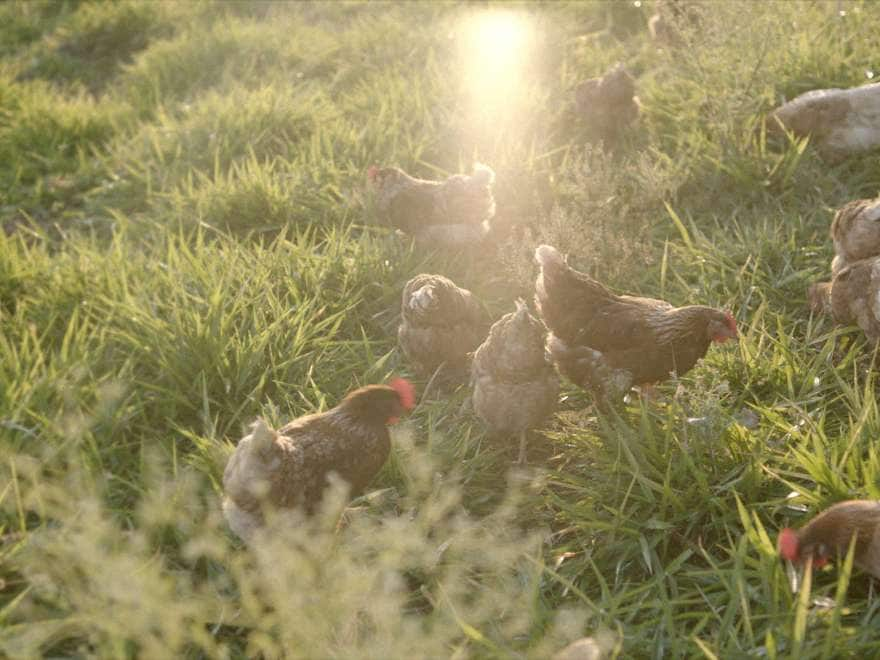 Ten chickens roam free in a field with the sun shining.