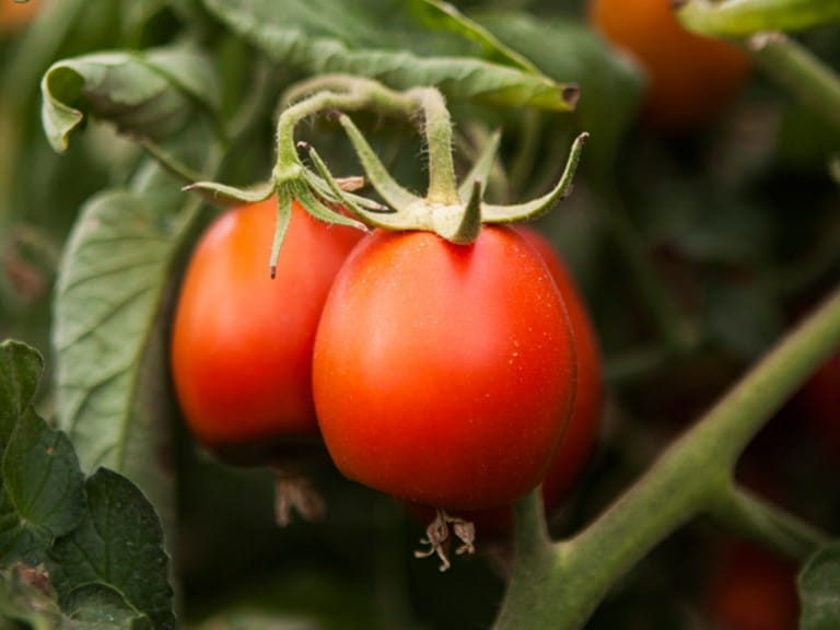 Sustainability: Tomatoes